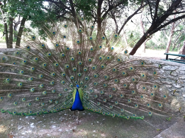 Postering peacock